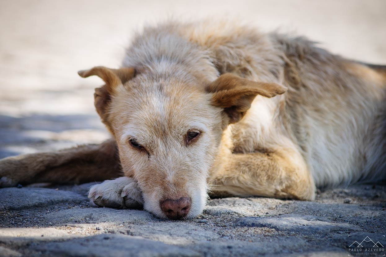 Cão sonolento