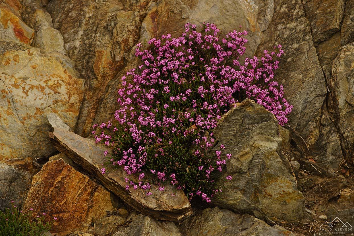 Flores serranas