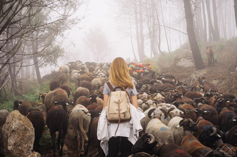 Transumância: Subimos com as ovelhas à Serra da Estrela