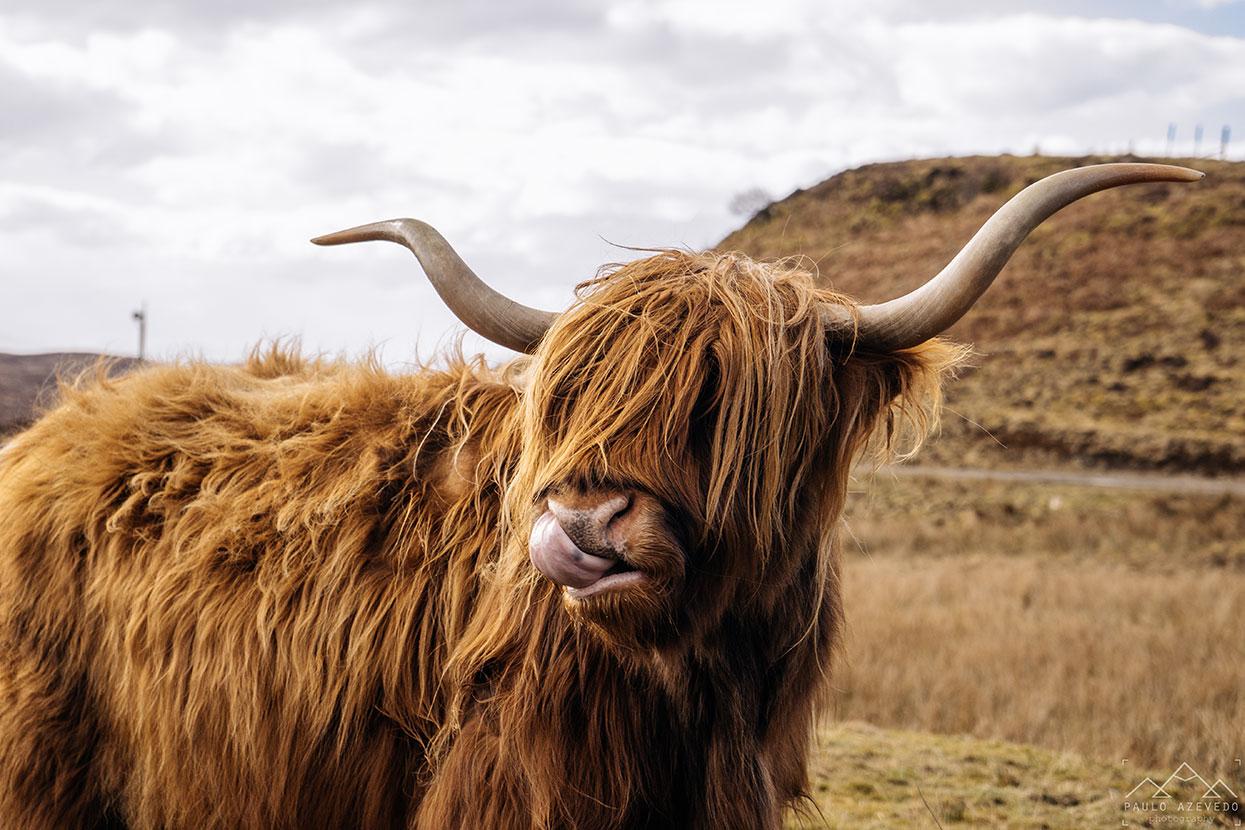 Vacas das Terras Altas, Escócia