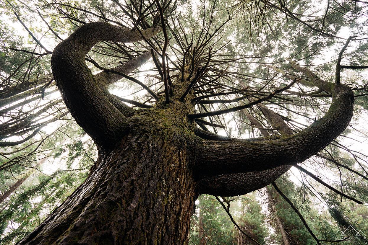 arvore com ramos em forma de abraço nas levadas da madeira