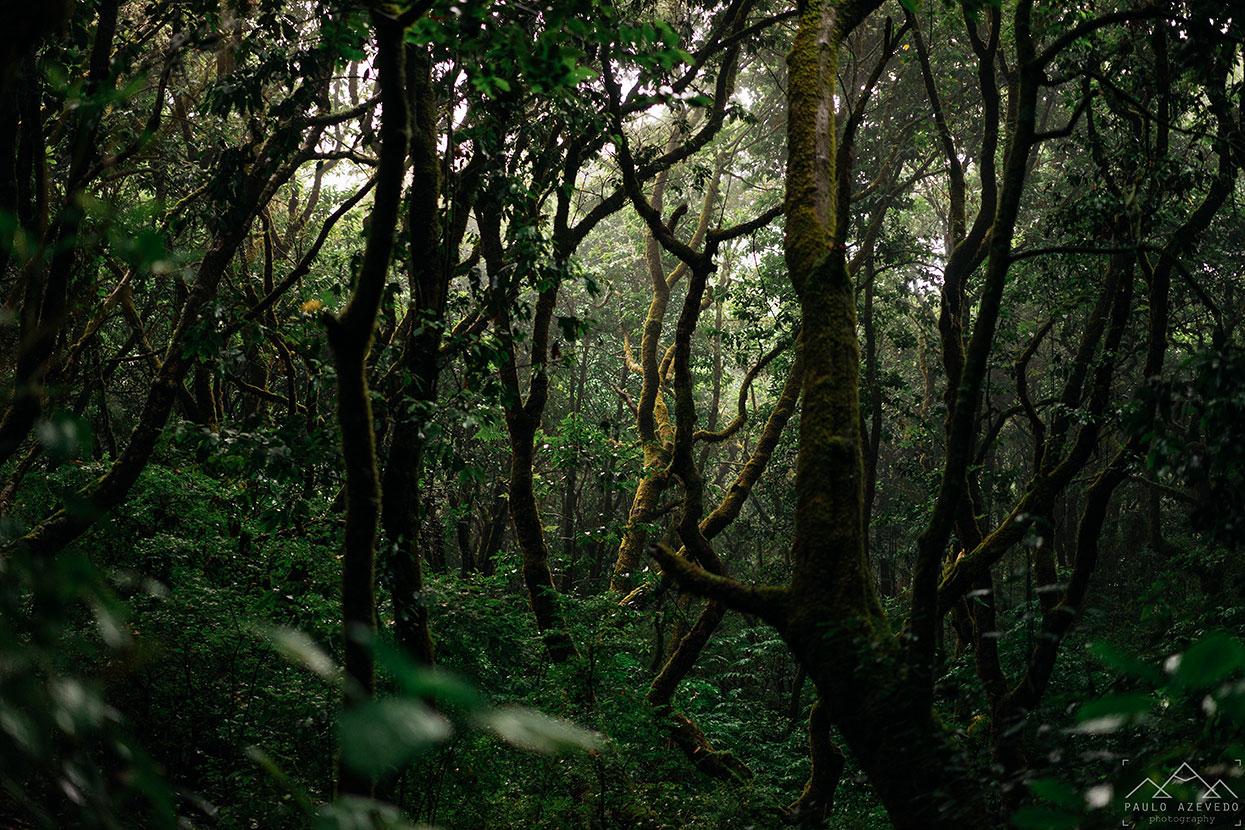 emaranhado de arvores da floresta laurissilva na madeira