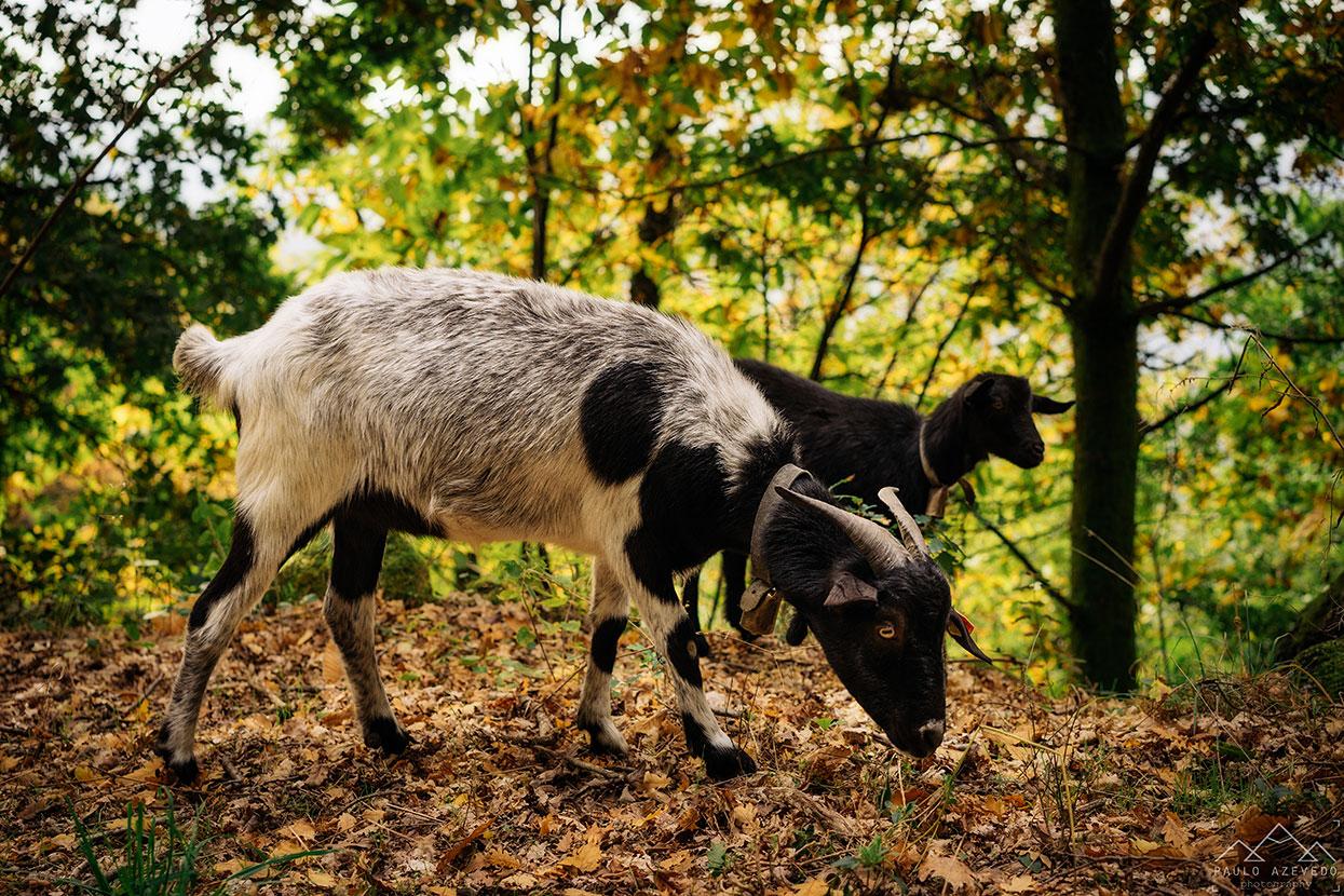 cabras a pastar na mata do bugalhao