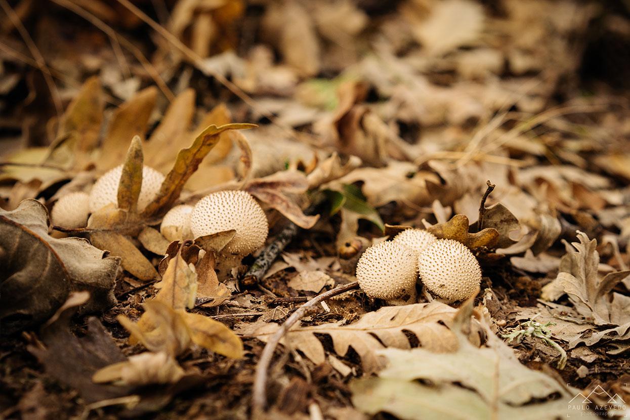 cogumelos na mata do bugalhao