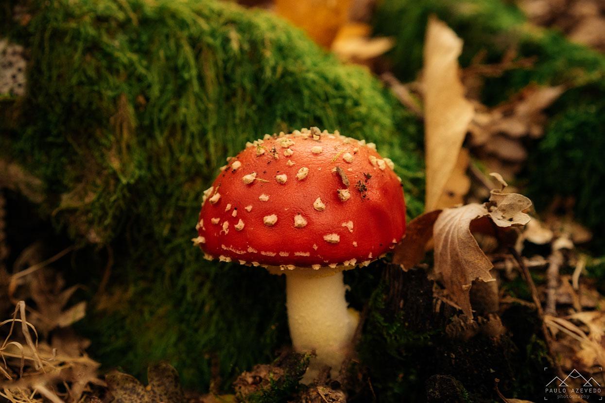 cogumelo vermelho na mata do bugalhao