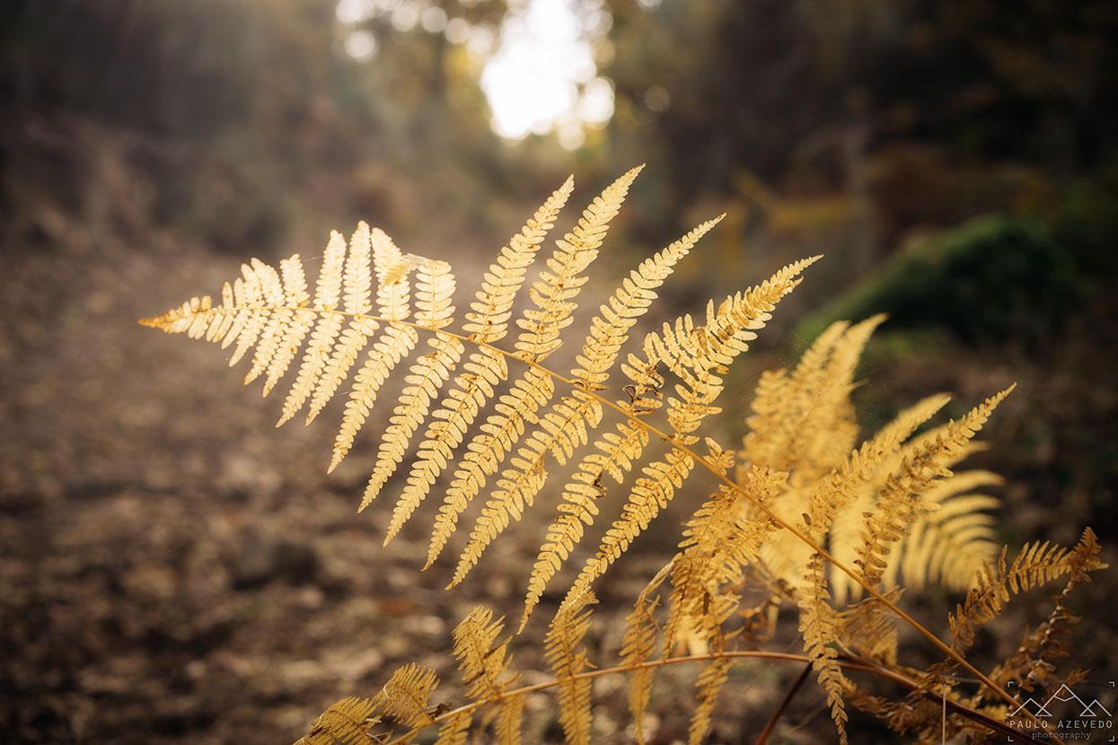 folha dourada na mata do bugalhao
