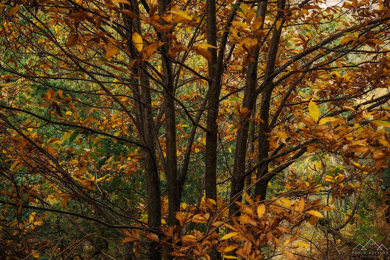 folhas douradas na mata do bugalhao