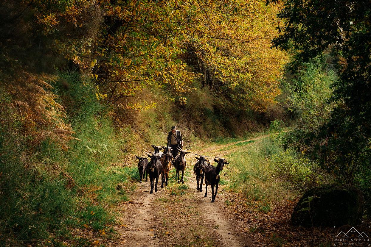 pastor e cabras na mata do bugalhao