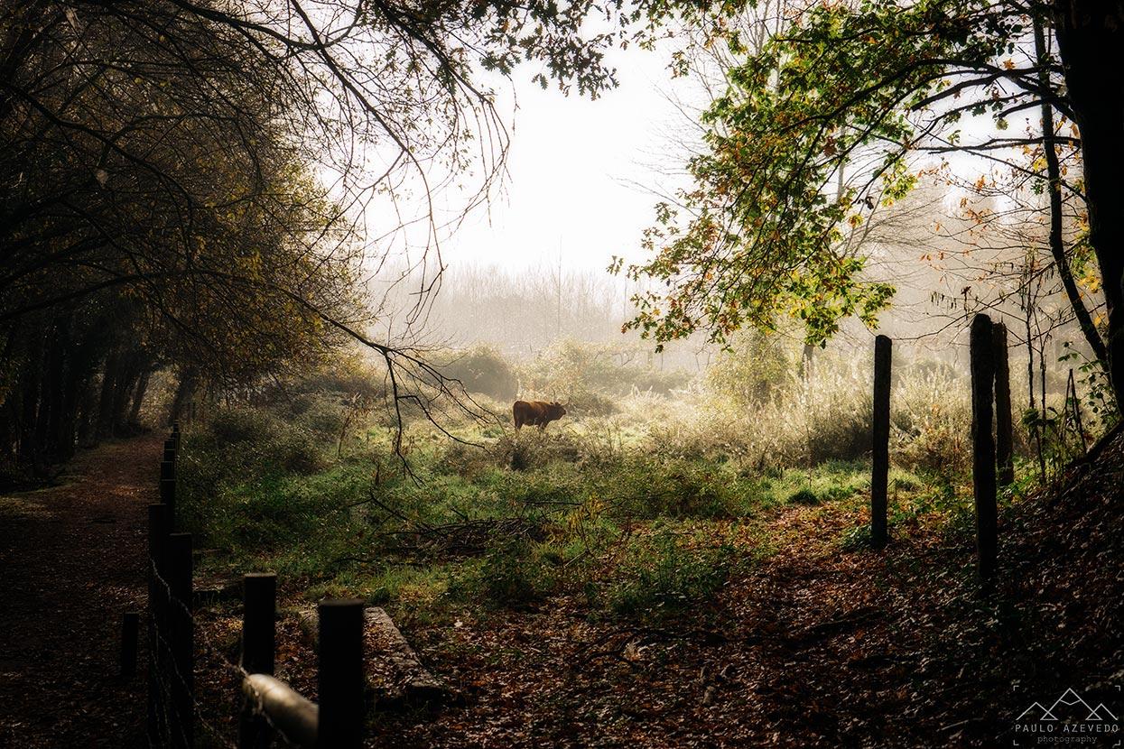 vaca cachena na ecovia do vez