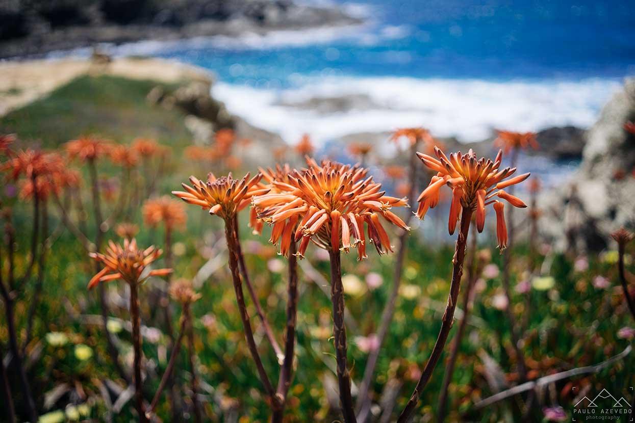 flores de aloé vera em Porto Covo