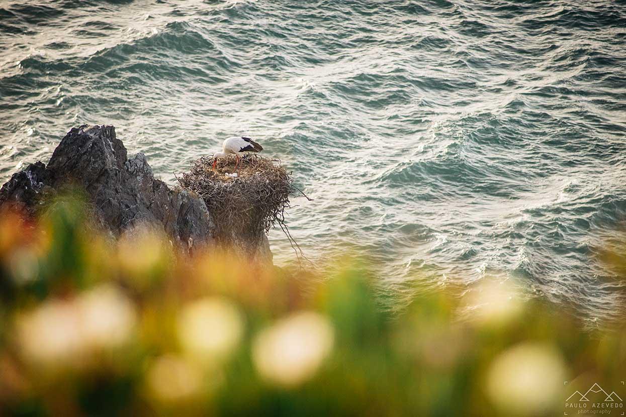 cegonha branca num ninho nas arribas do cabo sardao