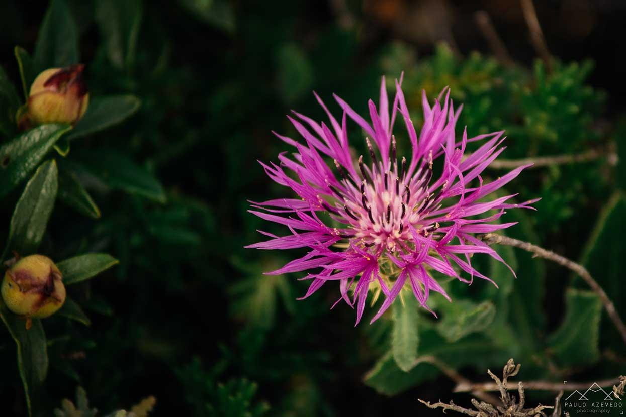flor silvestre na costa vicentina Centaurea