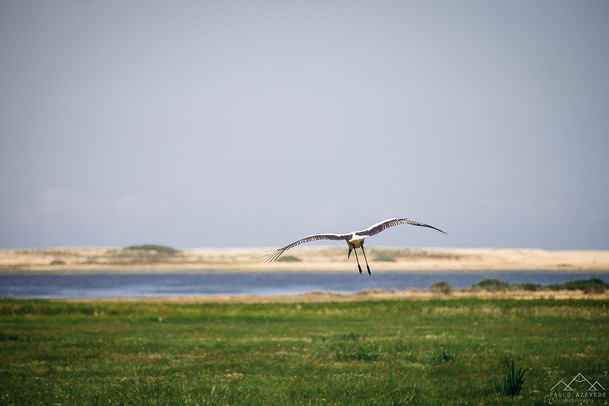 Cegonha a voar, Trilho da Casa do Peixe, Lagoa de Santo André