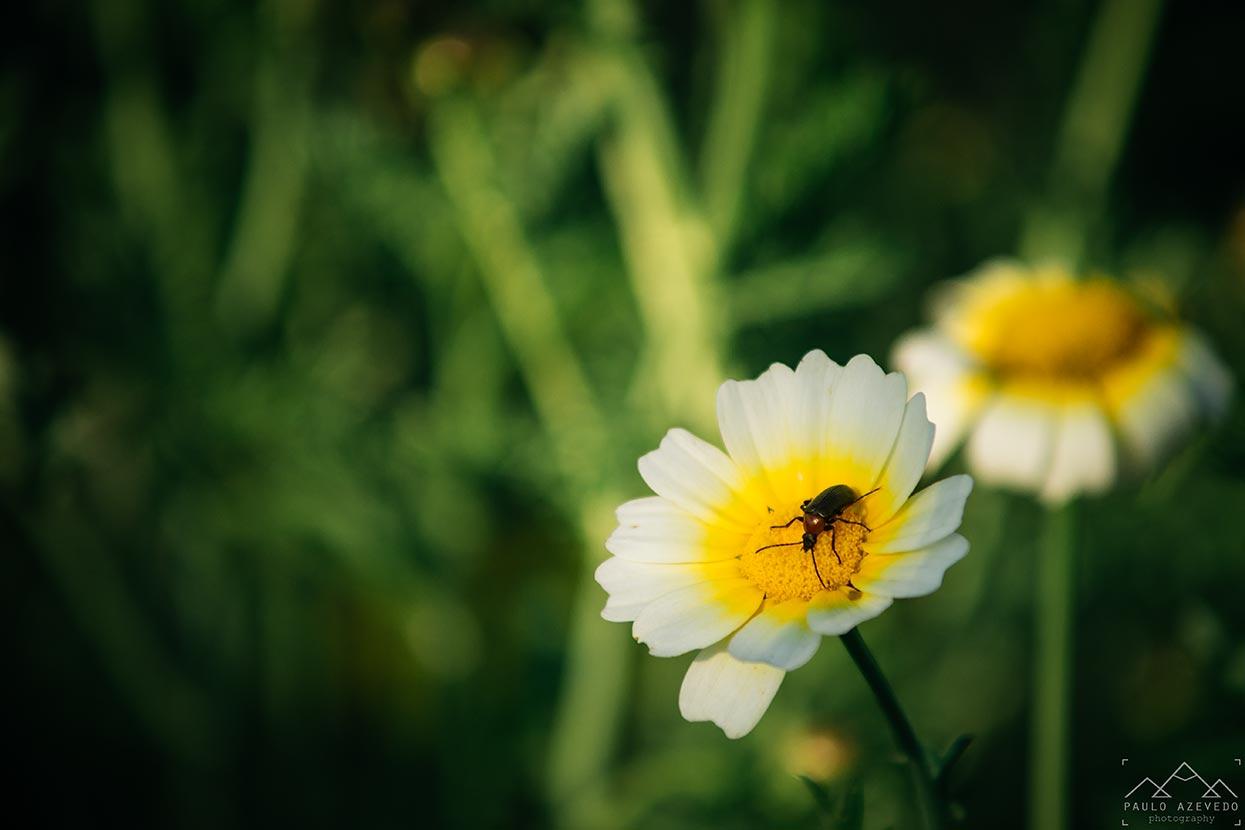 Inseto sobre uma flor
