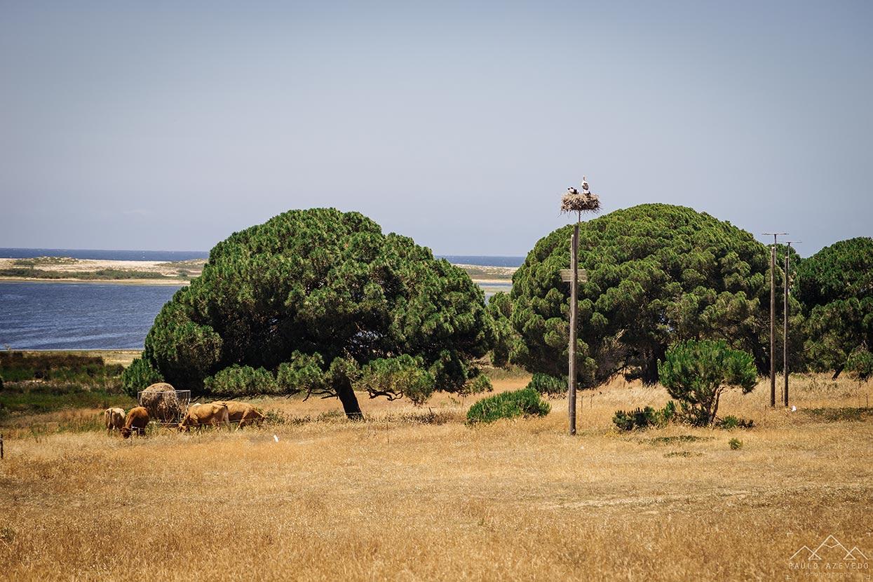 Ninho de cegonhas e vacas a pastar perto da Lagoa de Santo André