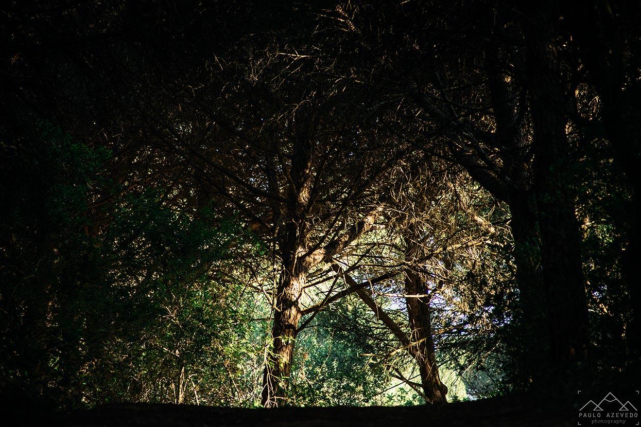 Floresta de pinheiros mansos no Trilho da Volta do Planalto
