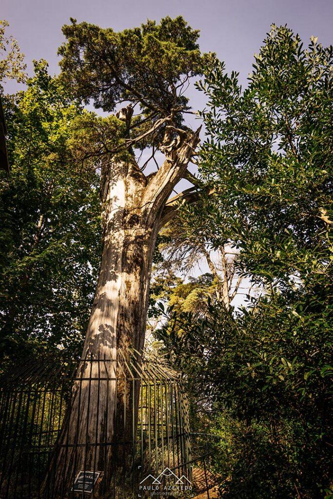 Cedro de São José