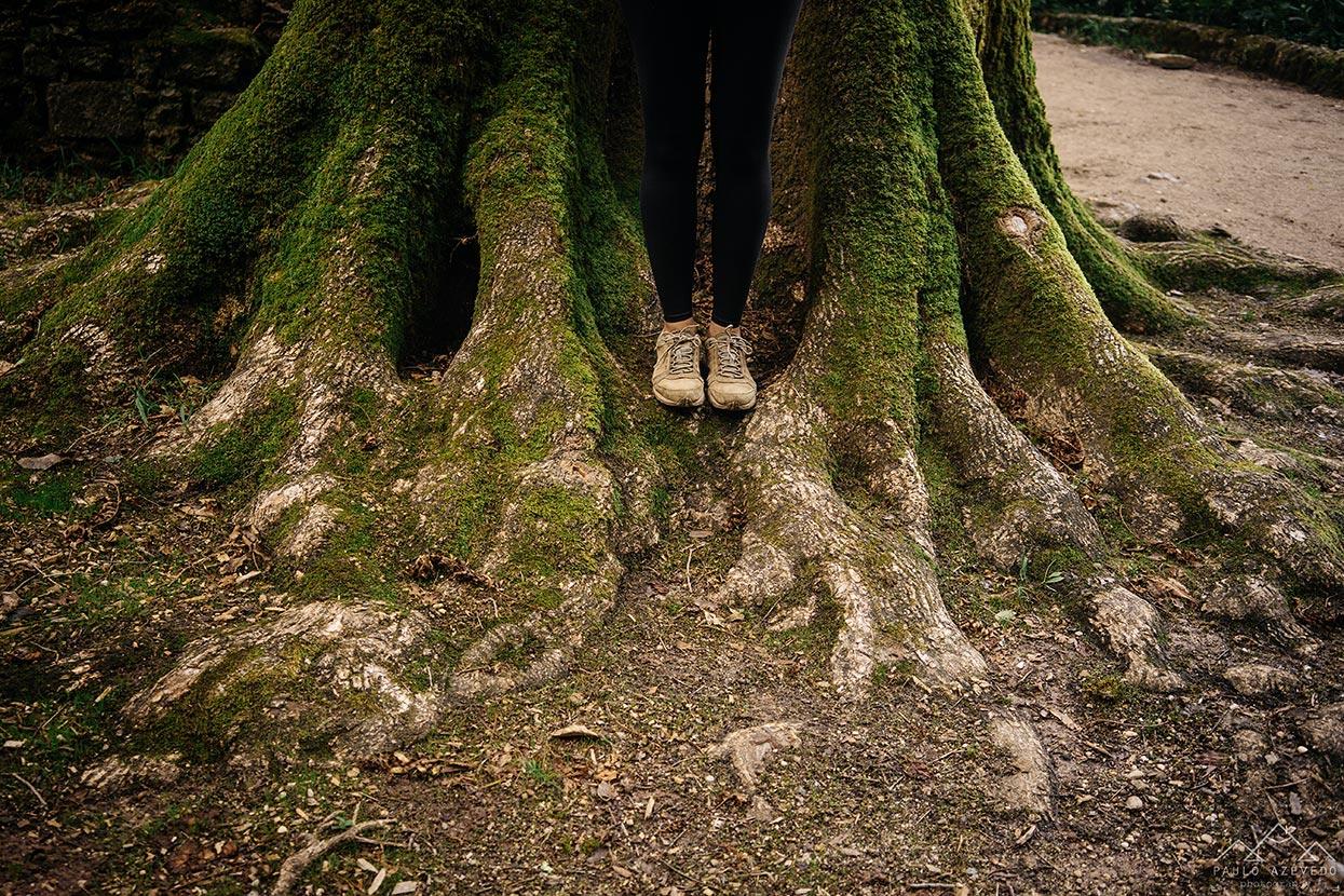 Eucalipto gigante, Bussaco