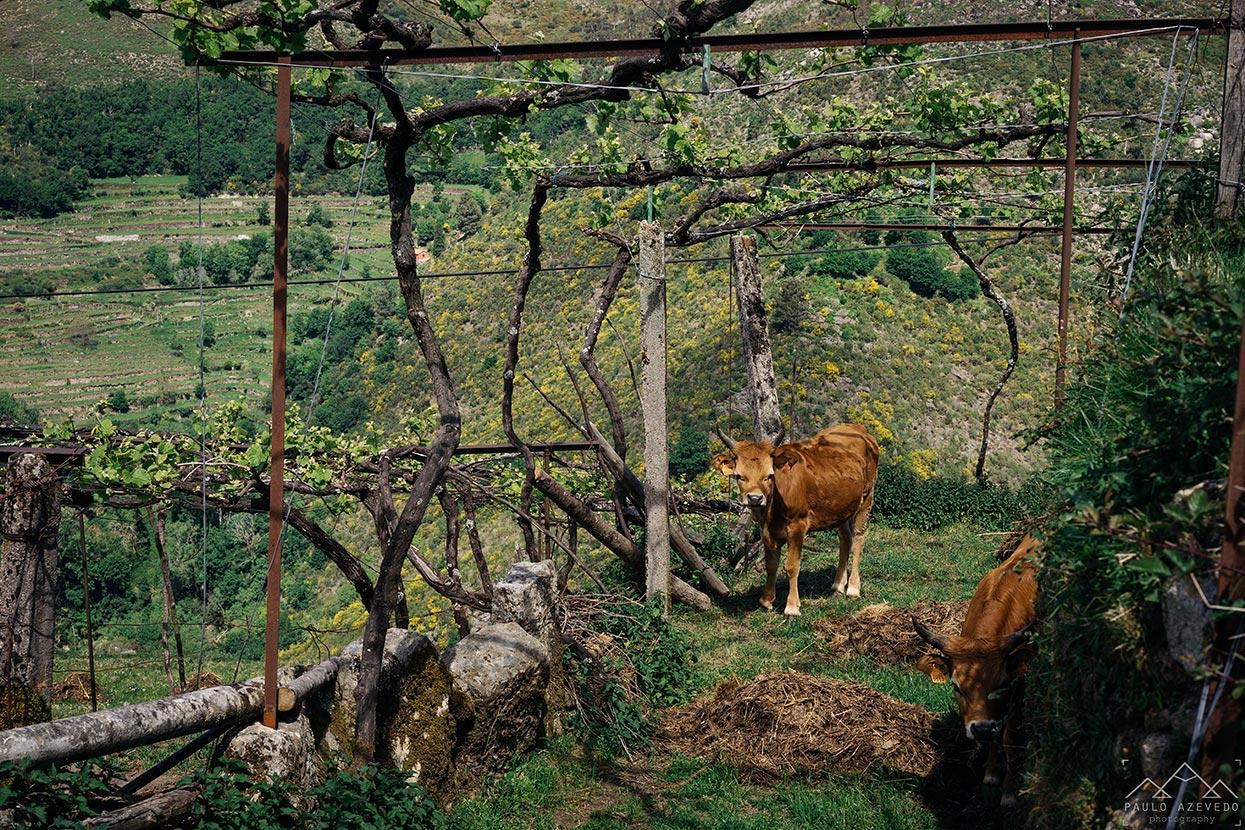 Vaca cachena no trilho das brandas de sistelo
