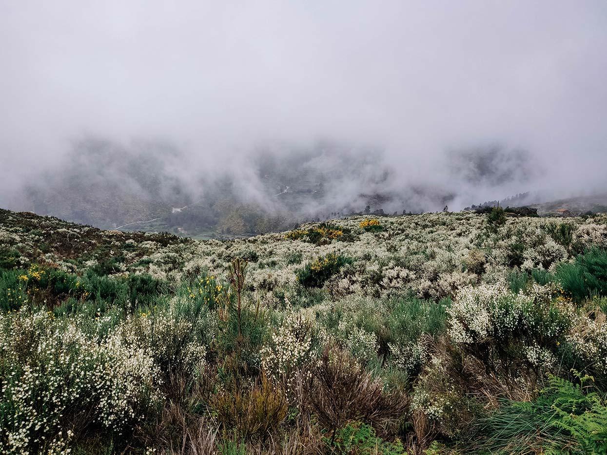 Serra da Estrela coberta de giestas floridas