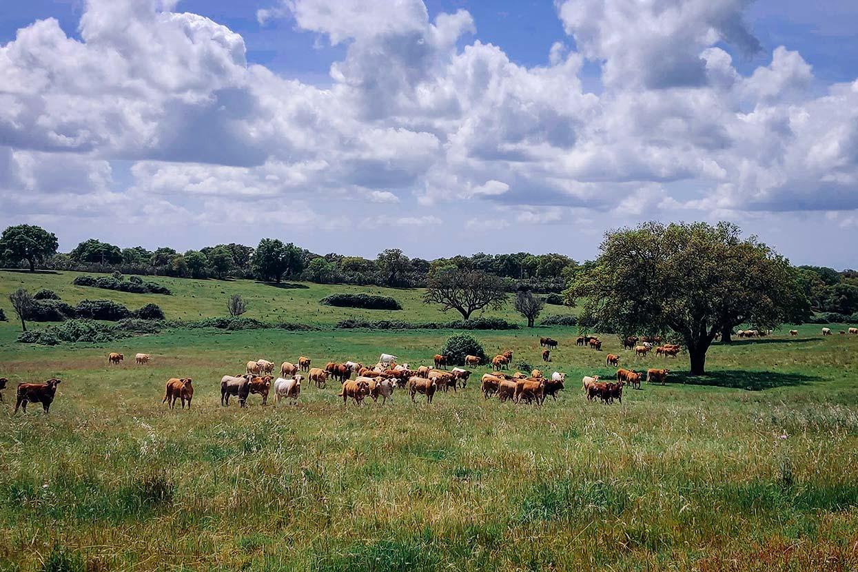 Vacas na Ecopista do Montado