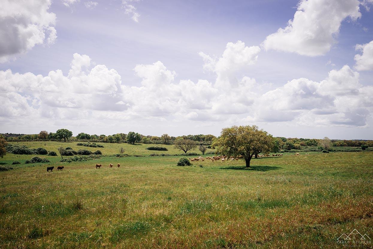 Vacas no montado