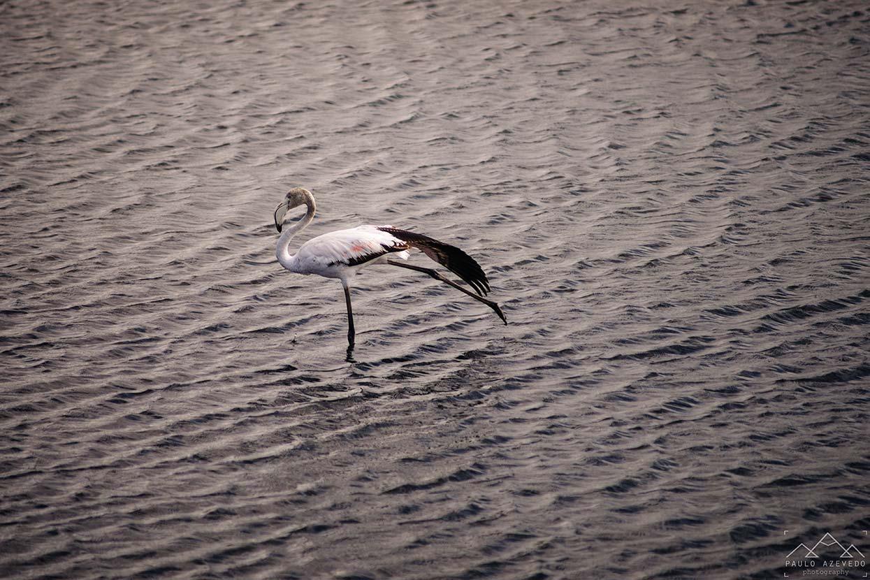 flamingo na quinta do lago