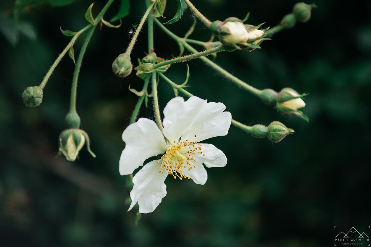 roseiras bravas, paul do boquilobo
